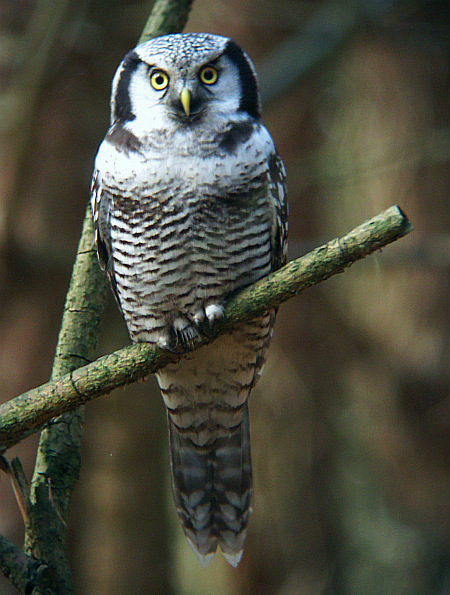 Bird picture: Surnia ulula / Sperweruil / Northern Hawk-Owl