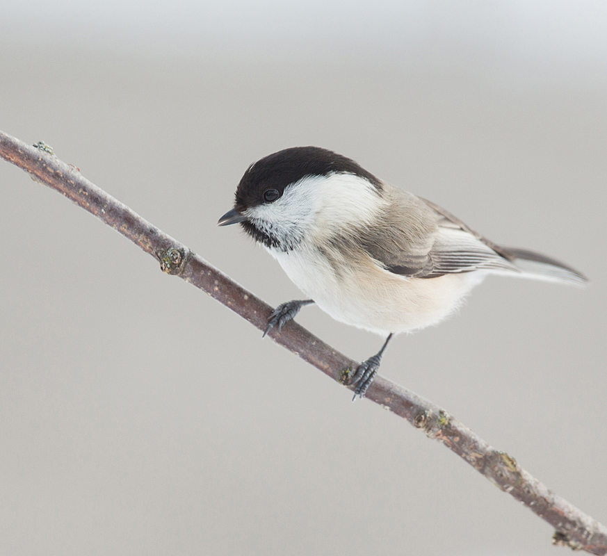 Bird picture: Poecile montanus / Matkop / Willow Tit