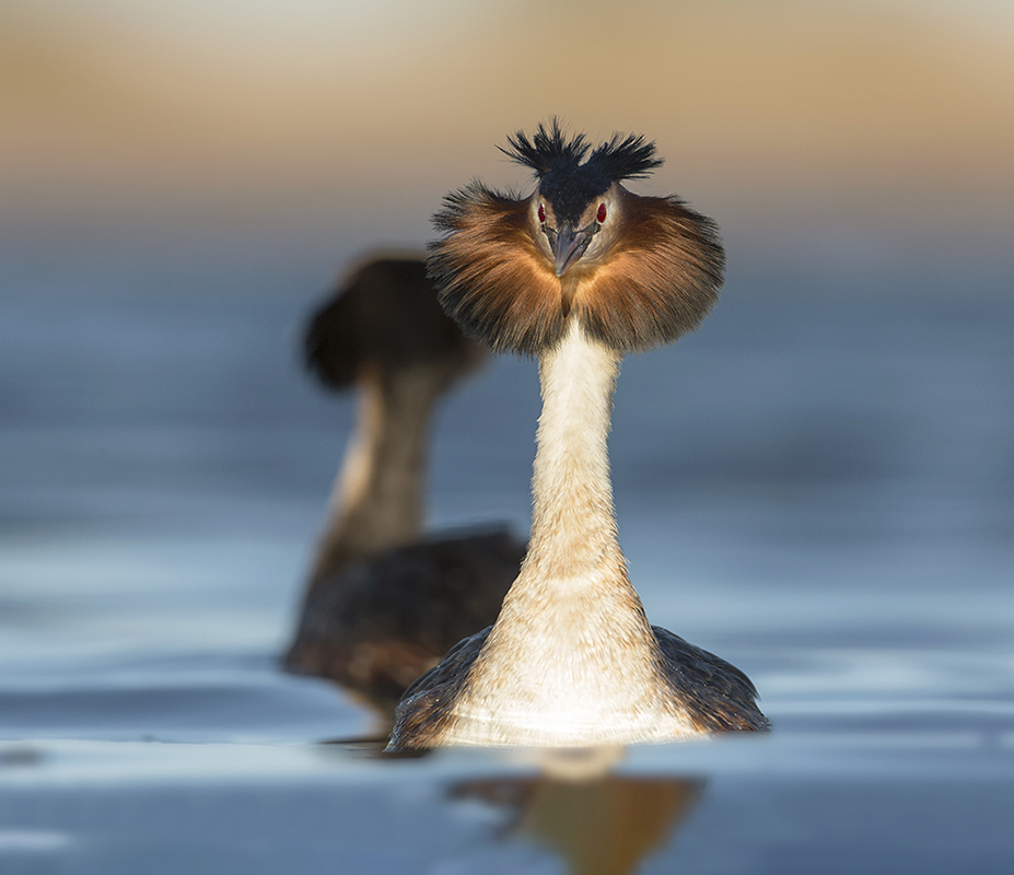 Bird picture: Podiceps cristatus / Fuut / Great Crested Grebe
