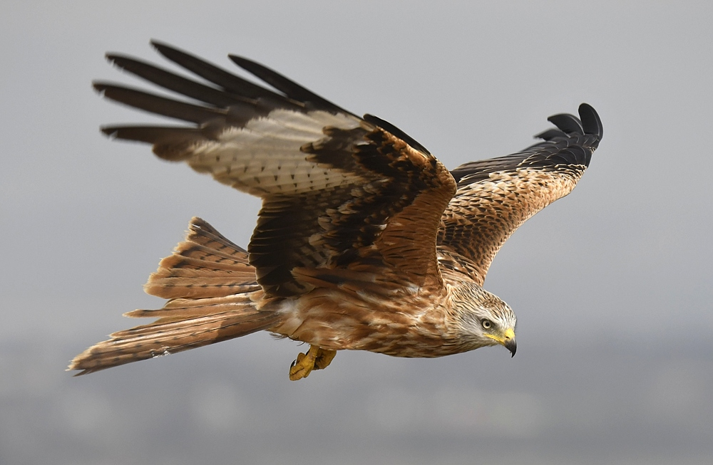 Bird picture: Milvus milvus / Rode Wouw / Red Kite
