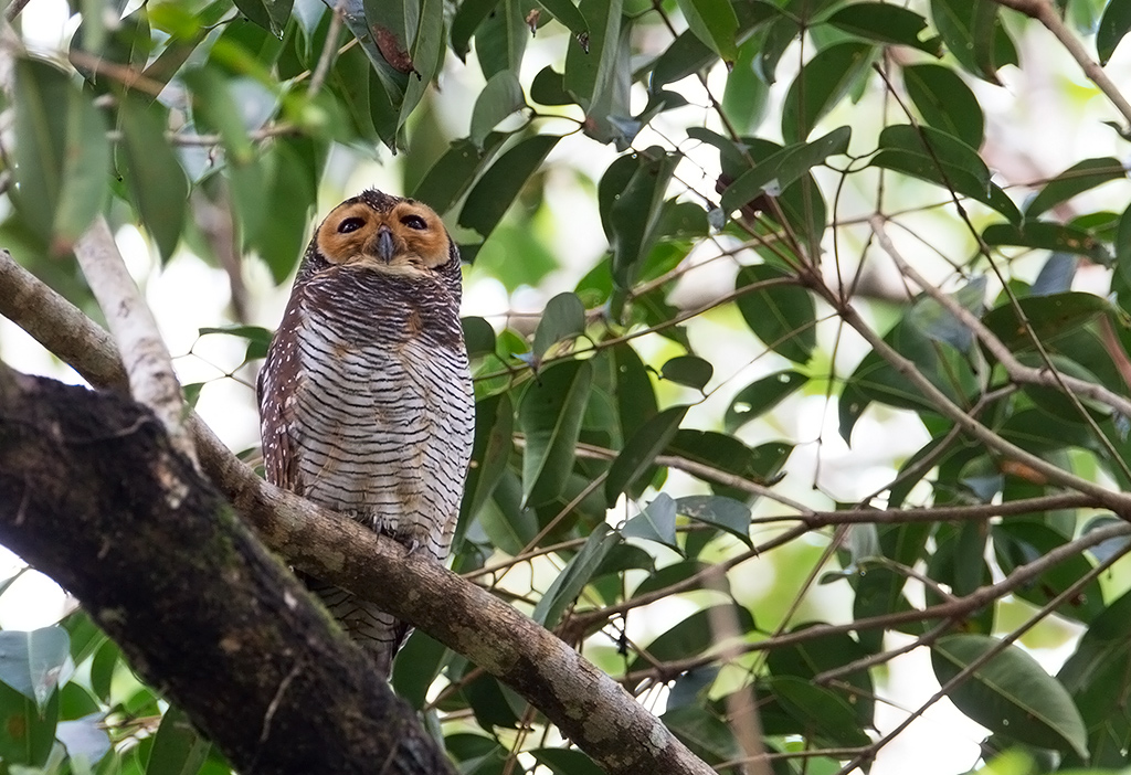 Bird picture: Strix seloputo / Maleise Bosuil / Spotted Wood Owl