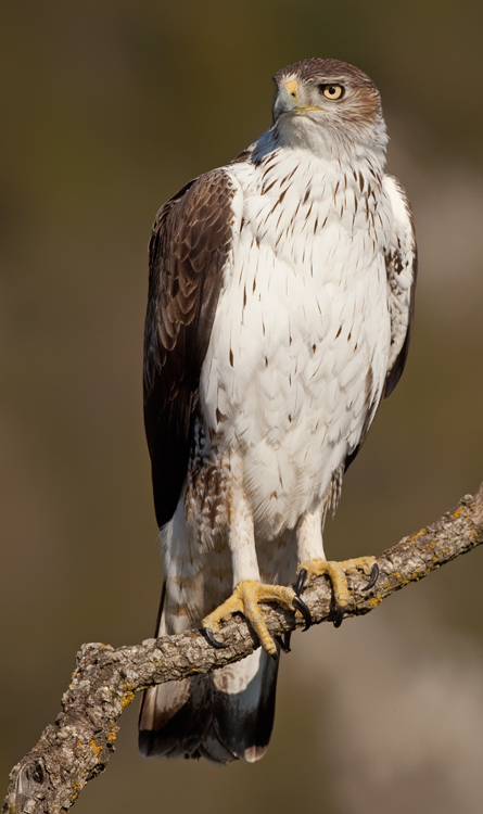 Bird picture: Aquila fasciata / Havikarend / Bonelli's Eagle
