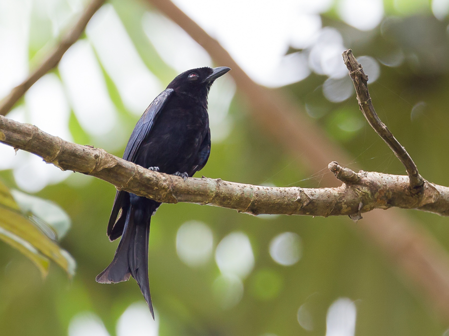 Bird picture: Dicrurus modestus / Bosdrongo / Velvet-mantled Drongo