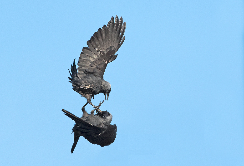 Bird picture: Coloeus monedula / Kauw / Western Jackdaw