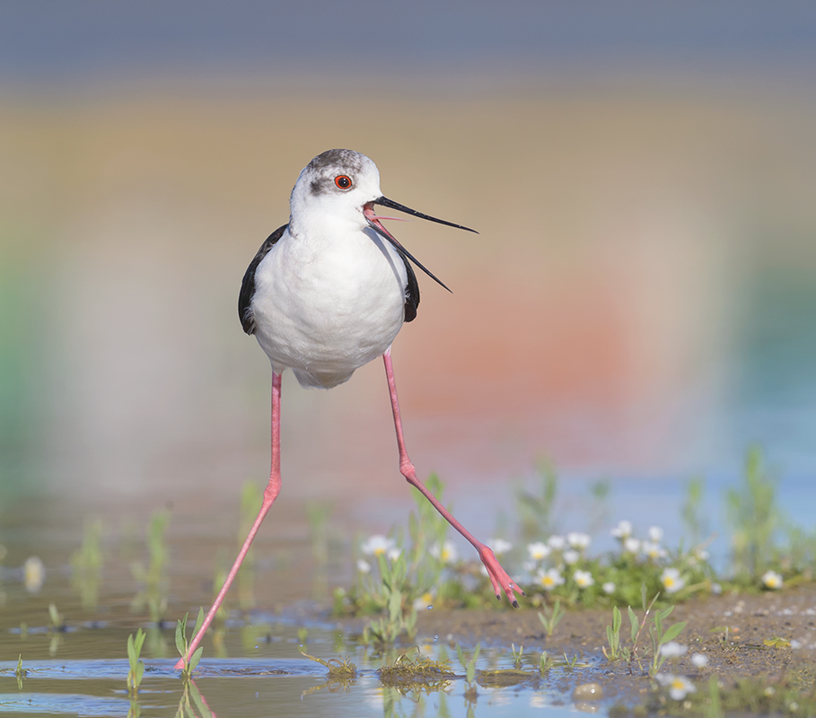 Bird picture: Himantopus himantopus / Steltkluut / Black-winged Stilt