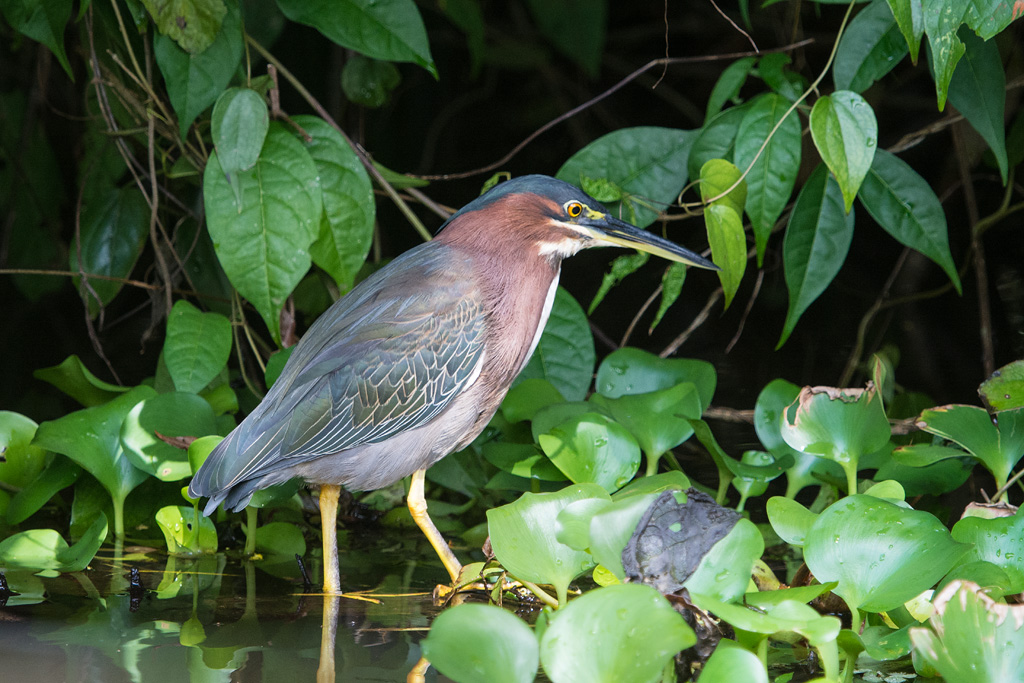 Bird picture: Butorides virescens / Groene Reiger / Green Heron