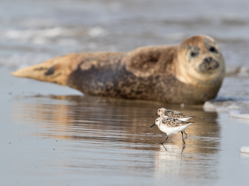 Bird picture: Calidris alba / Drieteenstrandloper / Sanderling