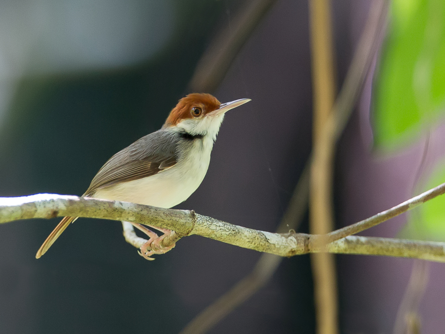 Bird picture: Orthotomus sericeus / Roodstaartsnijdervogel / Rufous-tailed Tailorbird