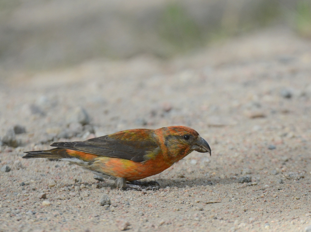 Bird picture: Loxia curvirostra / Kruisbek / Red Crossbill