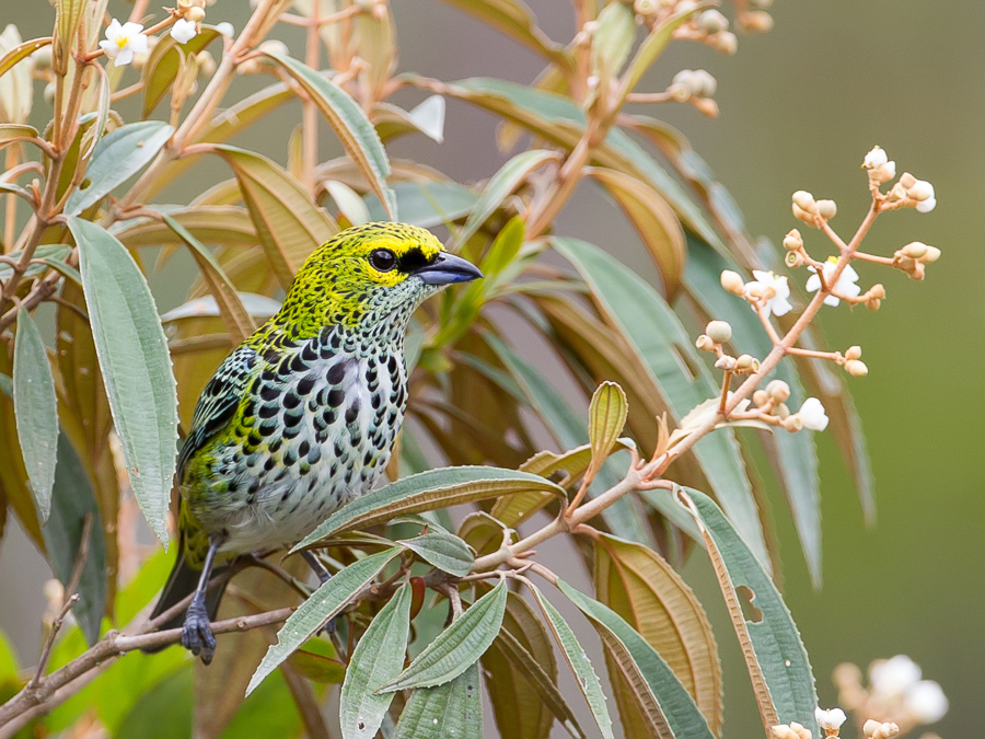 Bird picture: Tangara guttata / Spikkeltangare / Speckled Tanager