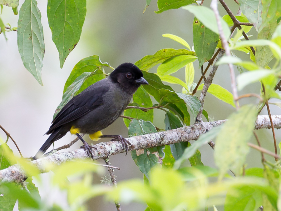 Bird picture: Pselliophorus tibialis / Geeldijstruikgors / Yellow-thighed Finch