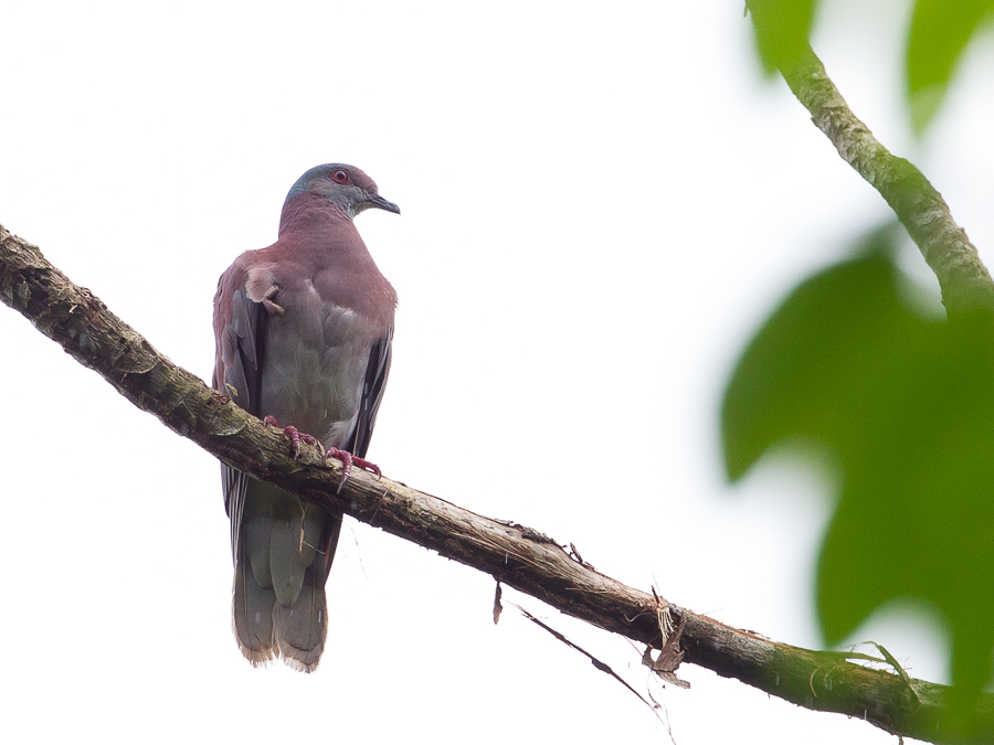 Bird picture: Patagioenas cayennensis / Rosse Duif / Pale-vented Pigeon