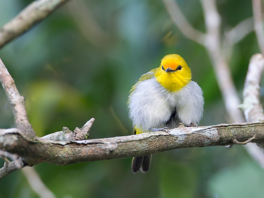 Bird picture: Zosterops wallacei / Geelringbrilvogel / Yellow-ringed White-eye