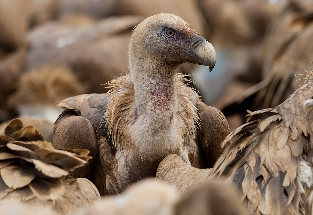 Bird picture: Gyps fulvus / Vale Gier / Griffon Vulture