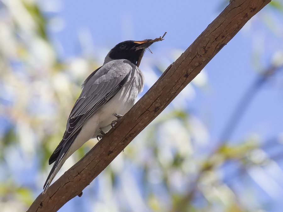 Bird picture: Coracina novaehollandiae / Australische Rupsvogel / Black-faced Cuckooshrike