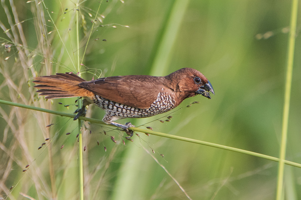 Bird picture: Lonchura punctulata / Muskaatvink / Scaly-breasted Munia