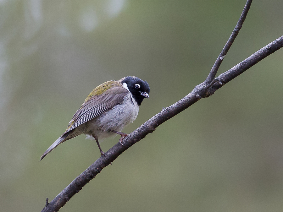 Bird picture: Melithreptus affinis / Zwartkophoningeter / Black-headed Honeyeater