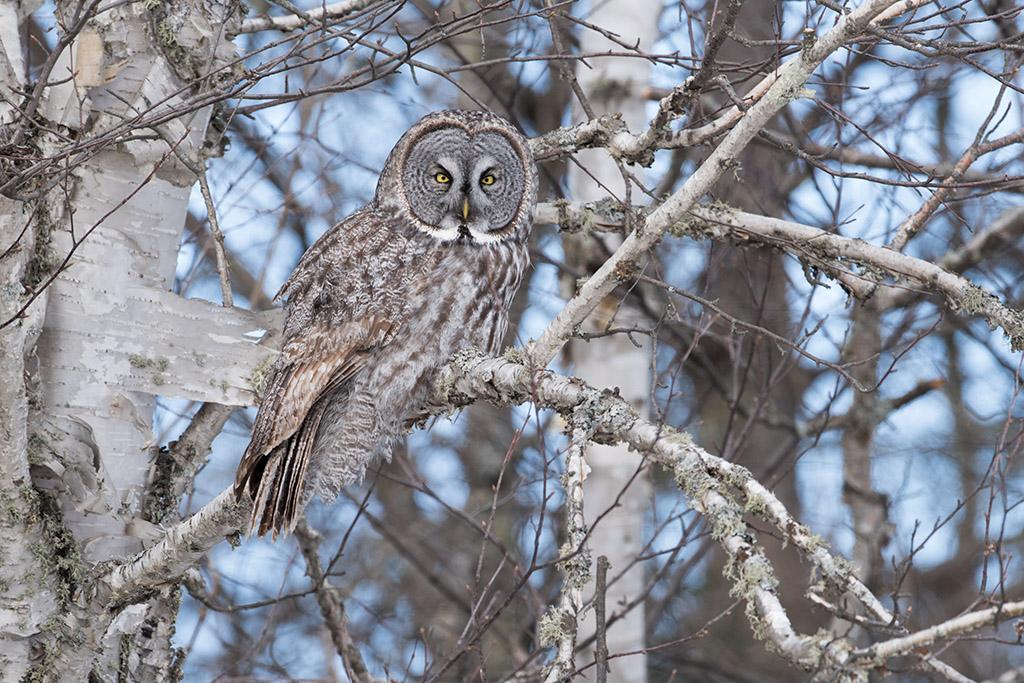 Bird picture: Strix nebulosa / Grote Grijze Uil / Great Grey Owl