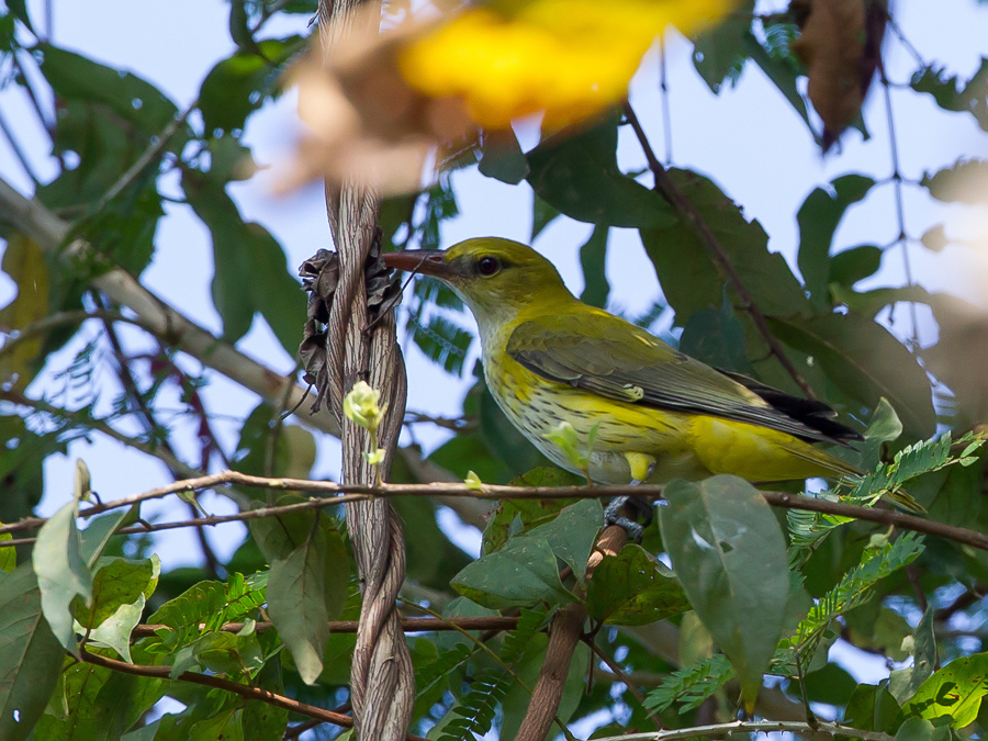 Bird picture: Oriolus kundoo / Indiase Wielewaal / Indian Golden Oriole