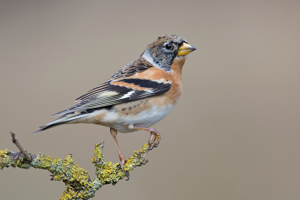 Bird picture: Fringilla montifringilla / Keep / Brambling