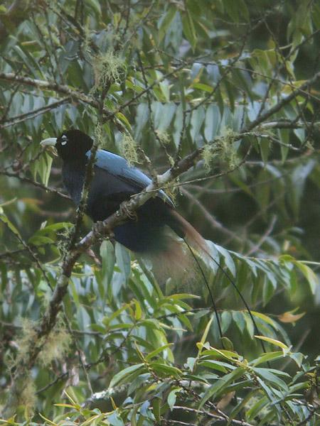 Paradisaea rudolphi blauwe paradijsvogel blue bird of paradise