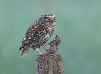 Athene vidalii / Steenuil / Little Owl