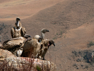 Cape vultures can be observe from the Bird Hide in Drakensberg NP. (especially when you bring some spare ribs)