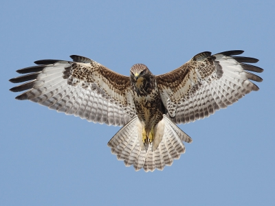 Buteo buteo / Buizerd / Common Buzzard
