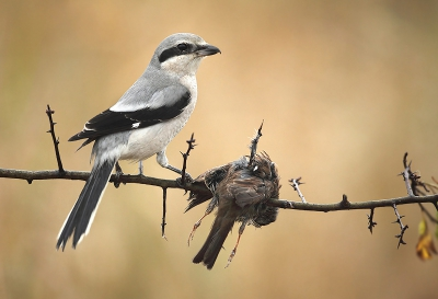 Lanius excubitor / Klapekster / Great Grey Shrike