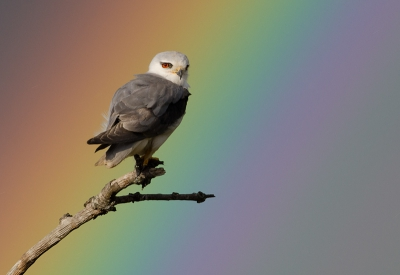 Elanus caeruleus / Grijze Wouw / Black-winged Kite