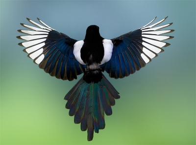 Pica pica / Ekster / Eurasian Magpie