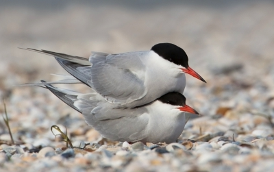 5. Sterna hirundo / Visdief / Common Tern