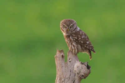 Bird picture: Athene noctua / Steenuil / Little Owl