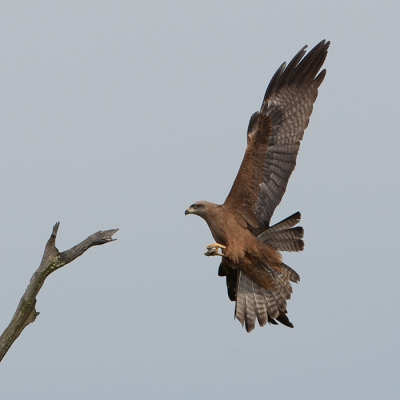 Bird picture: Milvus migrans / Zwarte Wouw / Black Kite