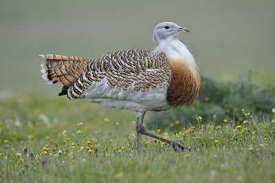 2. Otis tarda / Grote Trap / Great Bustard