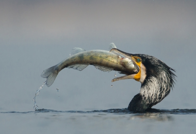 Bird picture: Phalacrocorax carbo / Aalscholver / Great Cormorant