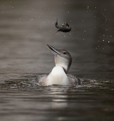 Bird picture: Gavia immer / IJsduiker / Common Loon