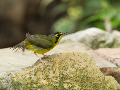 Bird picture: Geothlypis formosa / Kentuckyzanger / Kentucky Warbler