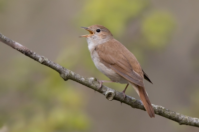 Bird picture: Luscinia megarhynchos / Nachtegaal / Common Nightingale