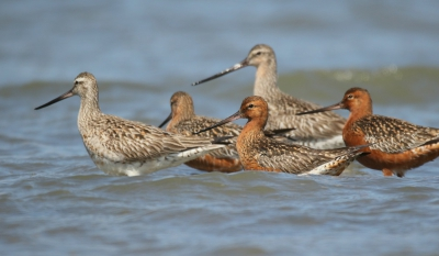 Bird picture: Limosa lapponica / Rosse Grutto / Bar-tailed Godwit