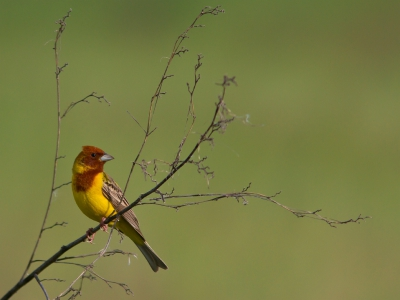 Bird picture: Emberiza bruniceps / Bruinkopgors / Red-headed Bunting