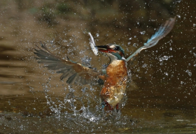 Alcedo atthis / IJsvogel / Common Kingfisher