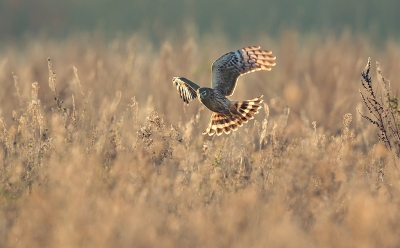 Bird picture: Circus cyaneus / Blauwe Kiekendief / Hen Harrier