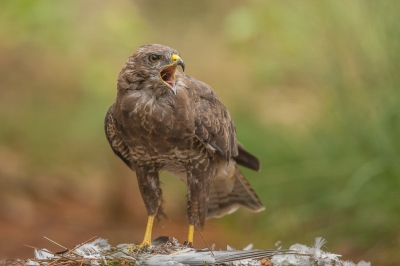 Vogel foto: Buteo buteo / Buizerd / Common Buzzard