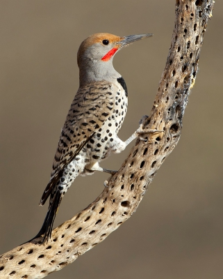 Colaptes chrysoides / Californische Grondspecht / Gilded Flicker