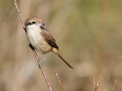 Bird picture: Lanius cristatus / Bruine Klauwier / Brown Shrike