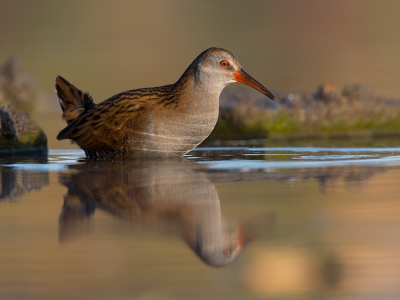Bird picture: Rallus aquaticus / Waterral / Water Rail