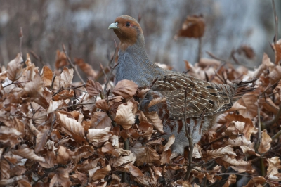 Bird picture: Perdix perdix / Patrijs / Grey Partridge