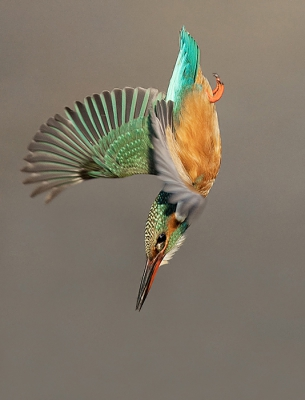 4. Alcedo atthis / IJsvogel / Common Kingfisher