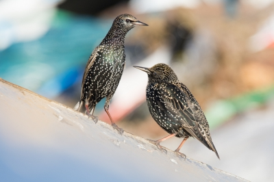 Bird picture: Sturnus vulgaris / Spreeuw / Common Starling